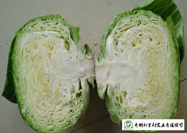 Flat Head Cabbage
