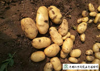 China Delicious Fresh Potato Can Used As A Vegetable Or As A Staple Food company