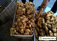 China Mature Organic Fresh Ginger , Wholesale Premium Grade Air Dried Ginger factory