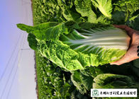 China Healthy Fresh Chinese Cabbage , Chinese Leaf Cabbage With Vitamin C company