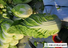 Salad Factory Chinese Cabbage Plant No Pollution Delicious Cold Resistance