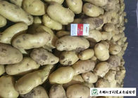 China Nutritious Fresh Potato Stored In A Dry And Cool Place Prevent Germination factory