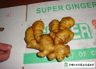 China Healthy Fresh Raw Ginger No Pesticide Residues Used For Juicing / Flavor factory