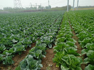 No Fleck Chinese Round Cabbage / No Pesticide Common Cabbage Small Size