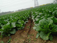 China Fiber Shin Fresh Green Cabbage Without Soil For Lower Blood Pressure factory