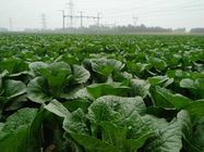 China Cruciferous Organic Green Cabbage , No Putrefaction Healthy Cabbage factory