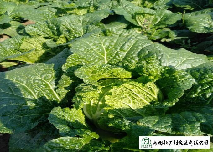 Big Size Fresh Chinese Cabbage Yellow Inside 15 Kg / Ctn GAP Standard