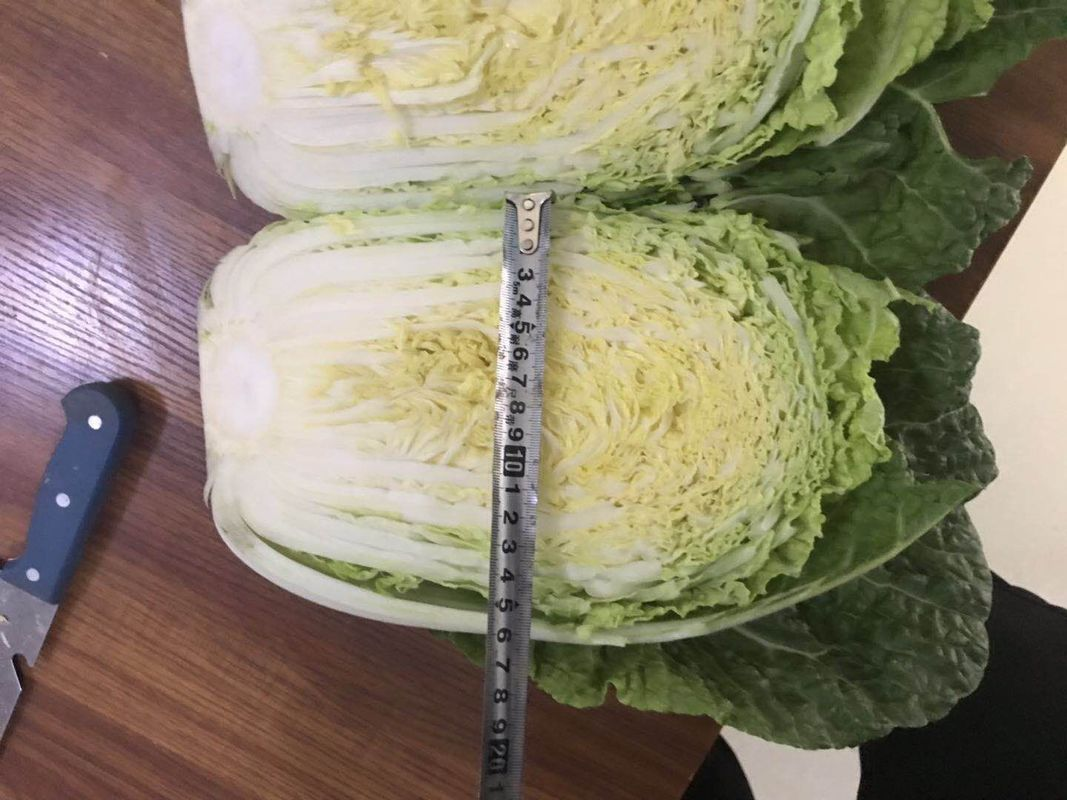 Natural Hue Fresh Chinese Cabbage No Pesticide Residue Fiber Shin