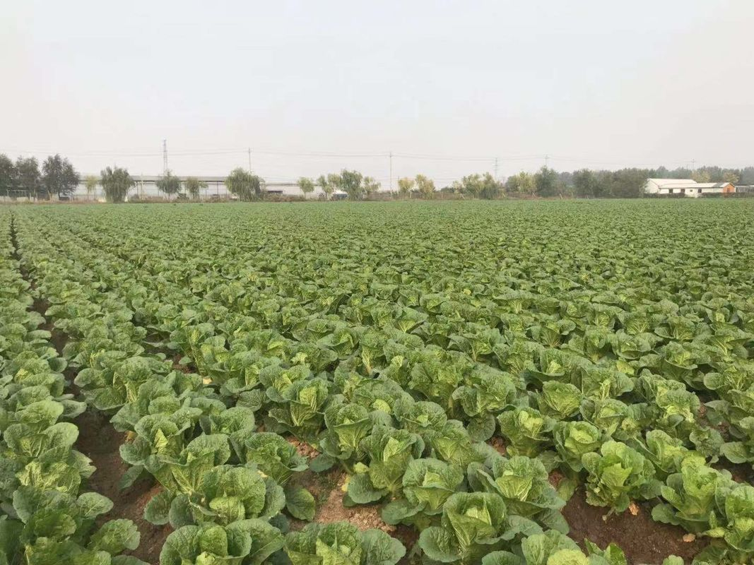 Fresh Clean Green Flat Head Cabbage Low In Calories Rich Vitamin C