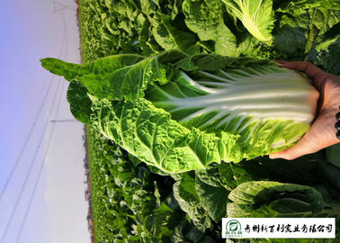 Healthy Fresh Chinese Cabbage , Chinese Leaf Cabbage With Vitamin C