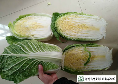 Natural Fresh Chinese Cabbage No Putrefaction No Stain Own Planting