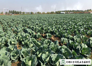 Cold Tolerant Early Flat Dutch Cabbage 20 KG / BAG Rich In Vitamin C