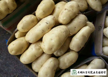 100 % Natural Fresh Potato 10 Kg / Bag Packing No Pesticide Residues