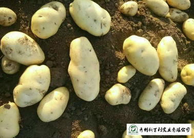 Smooth Surface Chinese Potato , No Pollution Organic Potatoes 5 Kg / Bag