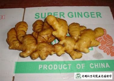 Medicinal Value Organic Fresh Ginger , Chinese Fresh Young Ginger For Swelling