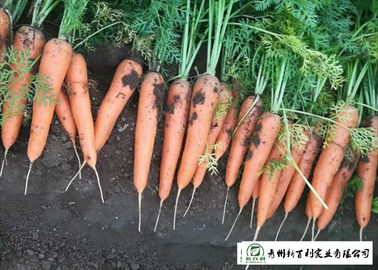 Japan Standard Fresh Organic Carrots Own Plantation Supply To Supermarket