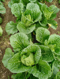 No Rotten Signs Cabbage Vegetable , Chinese Flat Cabbage Low In Calories