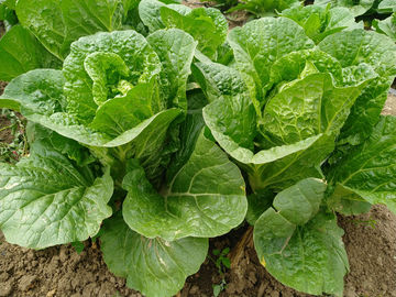 Rich Folic Acid Fresh Green Cabbage For Frying , Simmering And Mixing