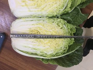 Good Teste Fresh Chinese Cabbage Packed With Vitamin C Vitamin K