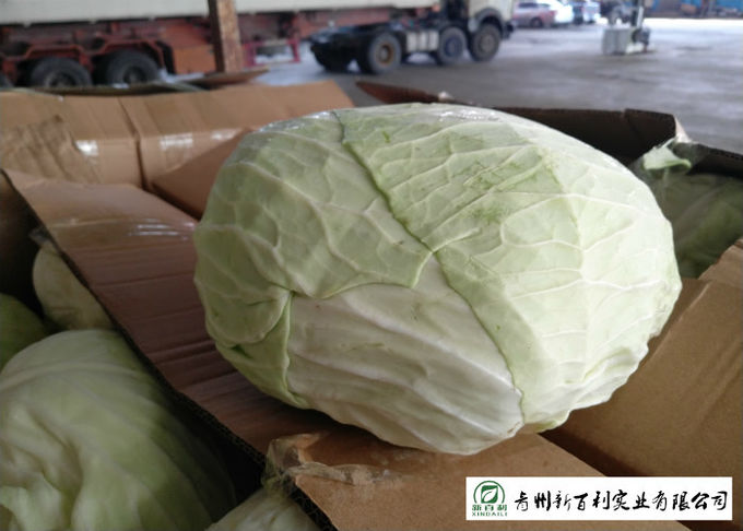 Clean Healthy Fresh Green Cabbage Own Plantation Supply To Supermarket