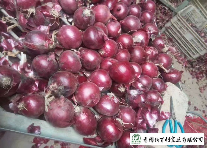 Delicious Fresh Onions Common Cultivation Type Maintain Cardiovascular Health