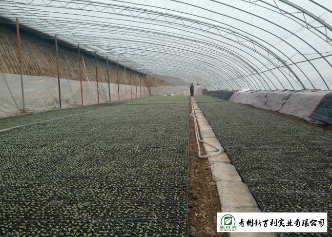 Japan Standard Flat Head Cabbage Own Plantation Supply To Salad Factory